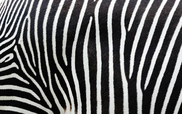 Art Prints Photograph - Close-up View Of Zebra Stripes by Freder