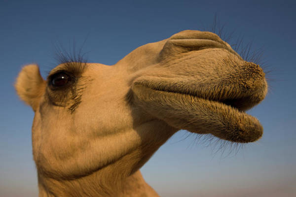 Animal Head Photograph - Close View Of Camels Head by Martin Child