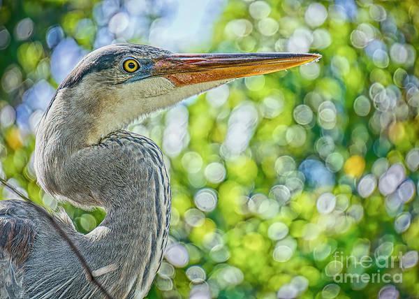 Wall Art - Photograph - Closeup Blue Heron by Judy Kay