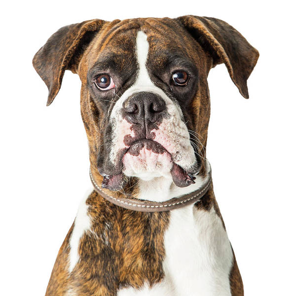 Wall Art - Photograph - Closeup Boxer Dog Looking Forward by Susan Schmitz