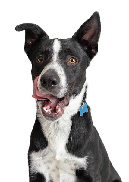 Dog Treat Photograph - Closeup Hungry Border Collie Crossbreed Dog by Susan Schmitz