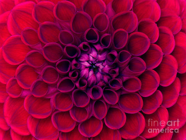 Wall Art - Photograph - Closeup Of Colourful Flower by Irin-k