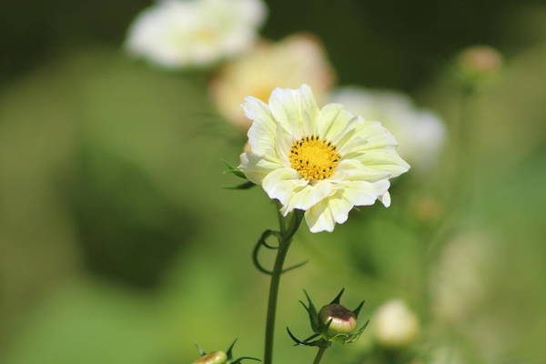 Photograph - Closeup Of Cream Cosmos by Colleen Cornelius