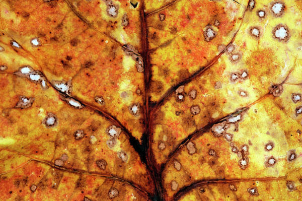 Hardwood Photograph - Closeup Of Leaf Showing Structure And by Johann  Schumacher