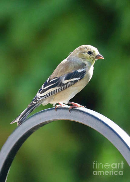Wall Art - Photograph - Closeup Of Goldfinch by Carol Groenen