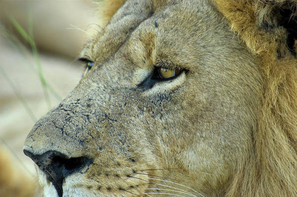 Botswana Photograph - Closeup Of Male Lion by Aluma Images