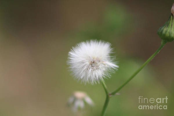Photograph - Closeup Of Milkweed Seed Head Fluff by Colleen Cornelius