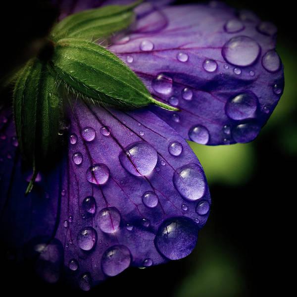 Photograph - Closeup Of Purple Flower by Florence Barreau
