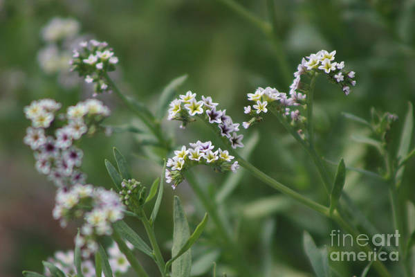 Photograph - Closeup Of Salt Heliotrope 3 by Colleen Cornelius