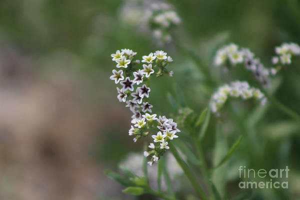 Photograph - Closeup Of Salt Heliotrope by Colleen Cornelius
