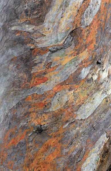 Eucalyptus Photograph - Closeup Of Snow Gum Bark, Eucalyptus by Gunter Ziesler