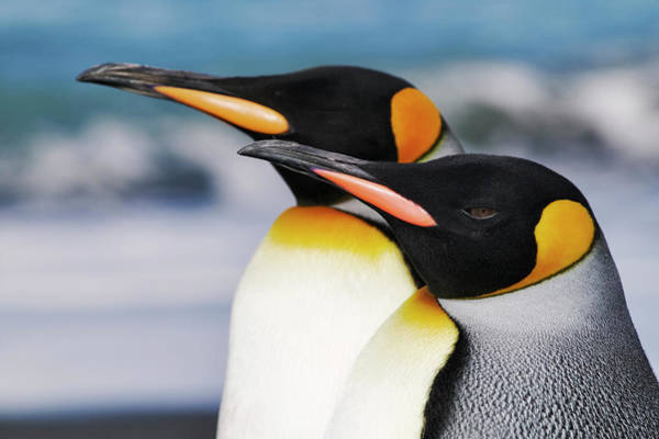 Vertebrate Photograph - Closeup Of Two King Penguins by Martin Harvey