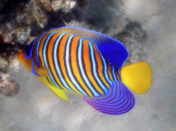 Photograph - Closeup Photo Of The Royal Angelfish by Johanna Hurmerinta
