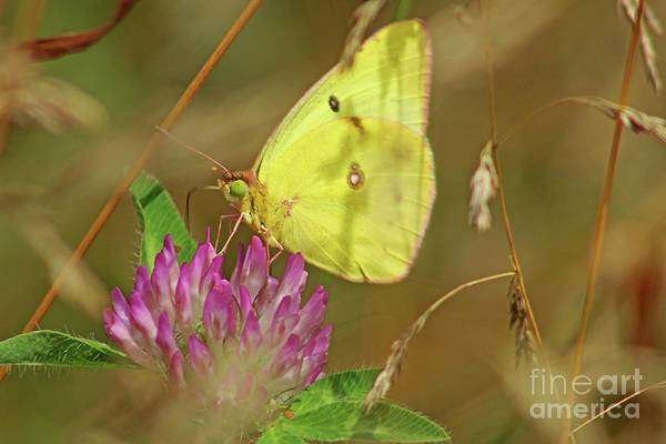 Sulfur Butterfly Wall Art - Photograph - Clouded Sulfur Butterfly by Maili Page