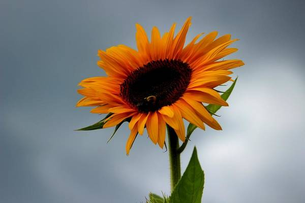 Photograph - Cloudy Sunflower by Candice Trimble