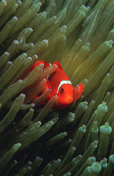 Hiding Photograph - Clown Anemone Fish Amphiprion by Casey And Astrid Witte Mahaney