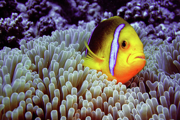 French Polynesia Photograph - Clown Fish In Sea Anemone by Loic Lagarde
