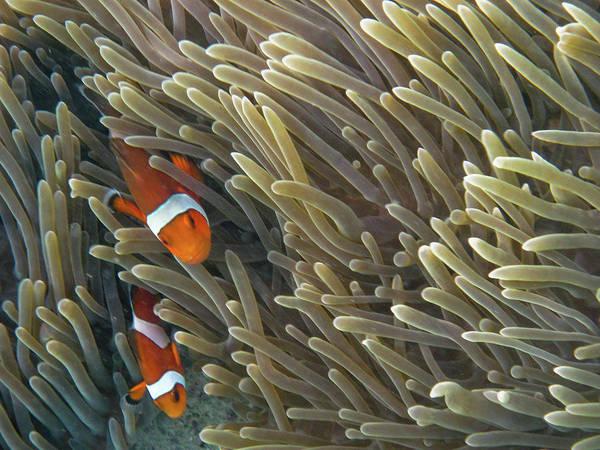 Phi Photograph - Clown Fish Ko Phi Phi by Essai