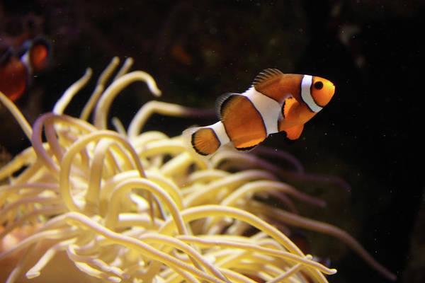 Sport Fish Photograph - Clown Fish by Sarah8000