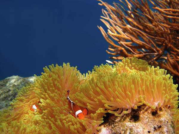 Underwater Diving Photograph - Clownfish In Coral Garden - Southeast by Fototrav