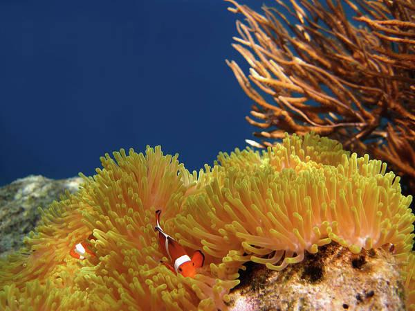 Underwater Photograph - Clownfish In Coral Garden - Southeast by Fototrav
