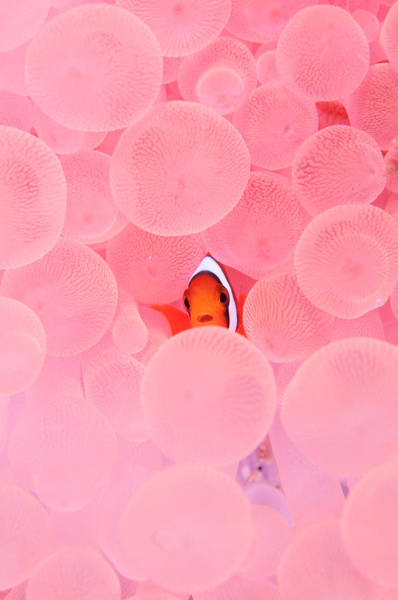 Coral Photograph - Clownfish In Corals by Yusuke Okada/a.collectionrf