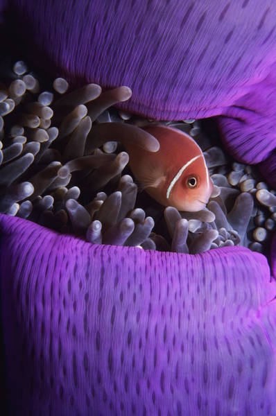Underwater Camera Photograph - Clownfish In Purple Anenome by Tammy616