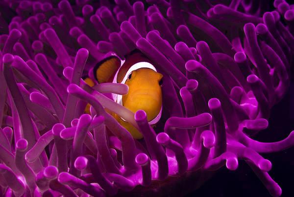Photograph - Clownfish In The Purple World by Photo Acqua E Luce Di Mauro Mainardi