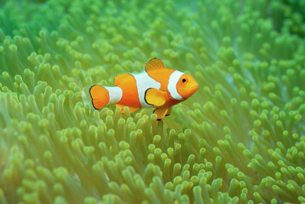 Underwater Photograph - Clownfish Swimming Underwater by Gerald Nowak
