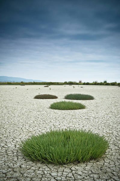 Cracked Photograph - Clumps Of Grass Growing Through Cracked by David Duchemin / Design Pics