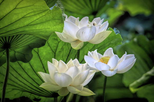 Wall Art - Photograph - Cluster Of Lotus Flowers In The Morning Light by Geraldine Scull