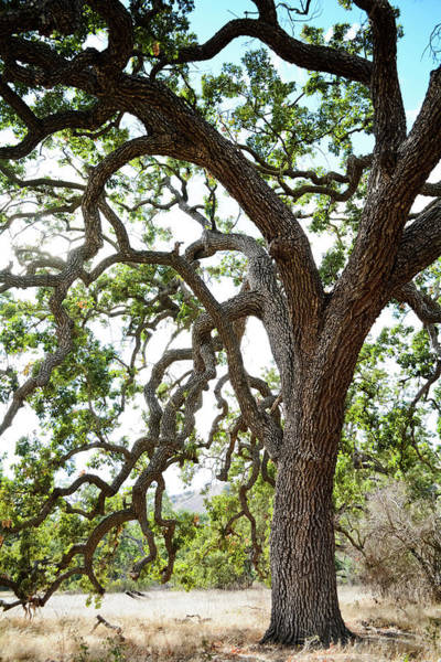 Photograph - Coast Live Oak Santa Monica Mountains by Kyle Hanson