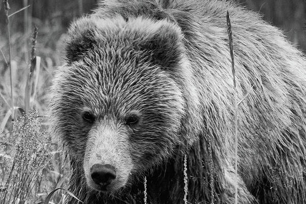 Photograph - Coastal Brown Bear Approaching In Monochrome by Mark Hunter