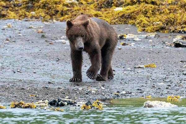 Photograph - Coastal Brown Bear In Kukak Bay Alaska by Mark Hunter