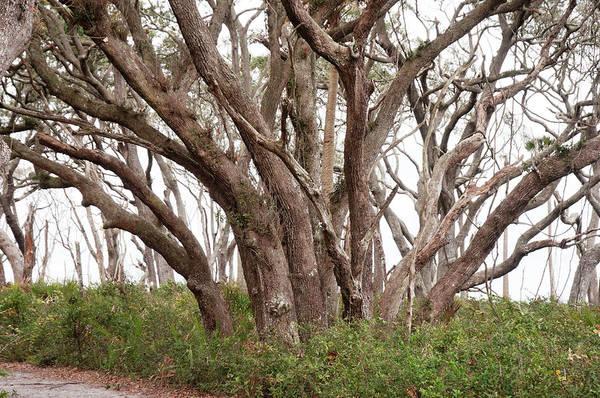 Coast Live Oak Photograph - Coastal Live Oak Trees On A Barrier by Pat Canova