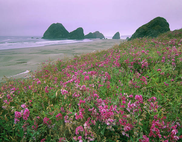 Photograph - Coastal Sweet Peas , Pistol River by Tim Fitzharris