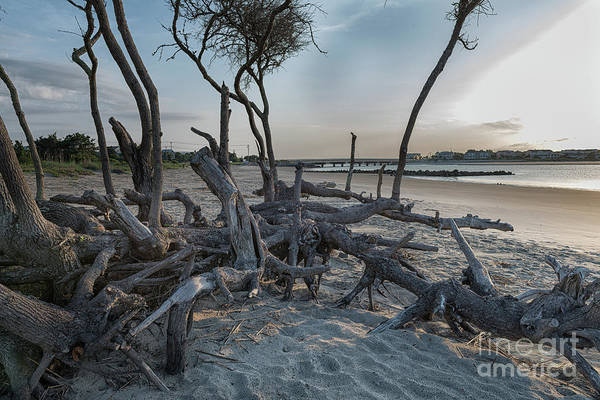 Photograph - Coastal Twisted Beach Tree by Dale Powell