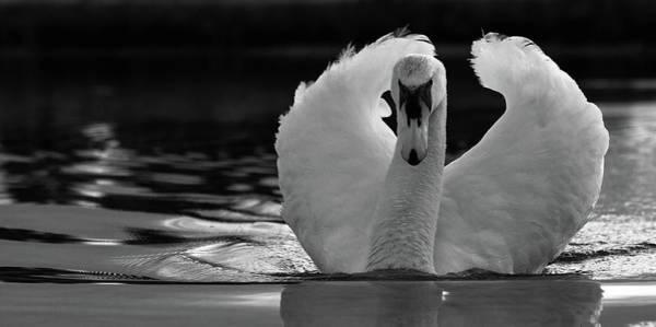 Photograph - Cob Swan by Stuart Leche