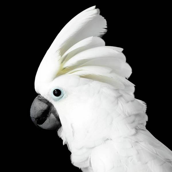 Photograph - Cockatoo Alba by Sergey Taran