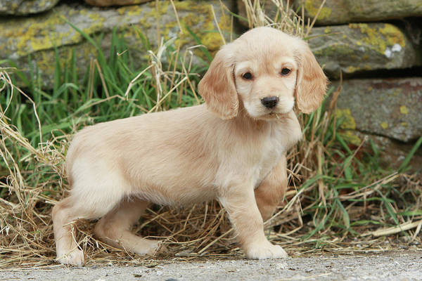 Cocker Spaniel Photograph - Cocker Spaniel Puppy Canis Lupus by Nick Ridley