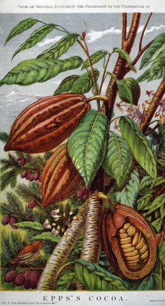Advertisement Digital Art - Cocoa Nut by Hulton Archive