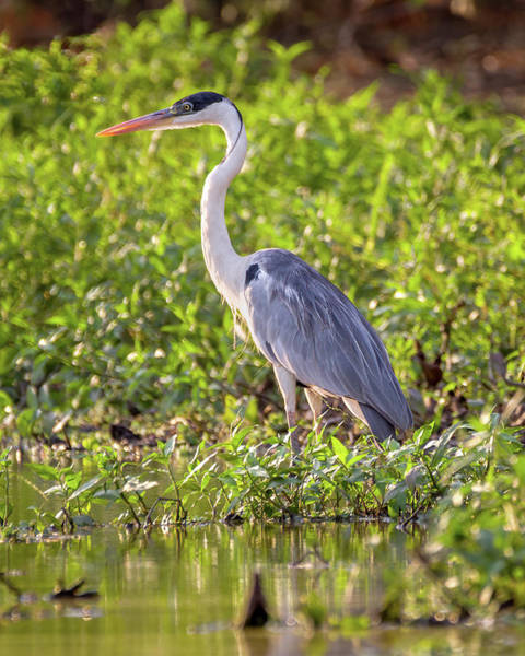 Photograph - Cocoi Heron Hato Berlin Casanare Colombia by Adam Rainoff
