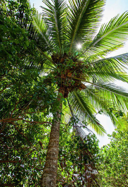 Photograph - Coconut Palm by Anthony Jones
