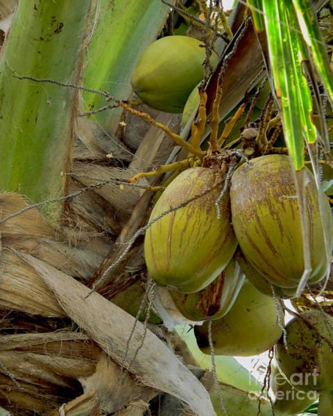 Photograph - Top Deck Coconut by Kristen Abrahamson