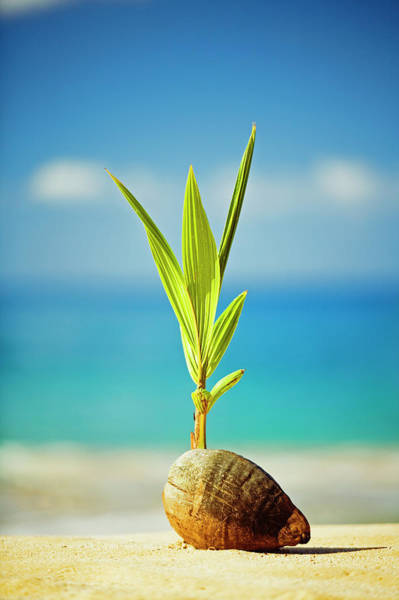 Beginnings Photograph - Coconut Sprouting On Beach by David Olsen