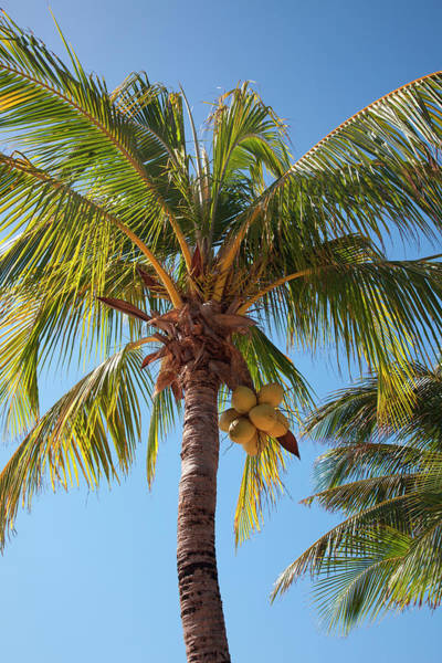 Mayan Riviera Photograph - Coconut Tree by Holger Leue