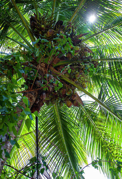 Photograph - Coconuts by Anthony Jones