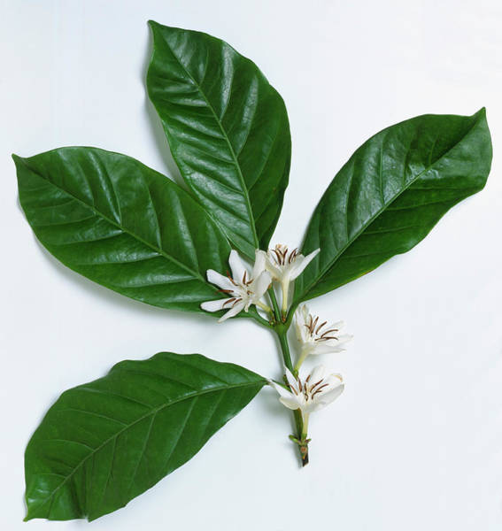 Wall Art - Photograph - Coffea Arabica, Leaves And Clusters Of by Neil Fletcher & Matthew Ward