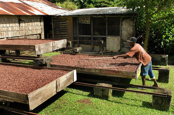 Drawers Photograph - Coffee Beans Being Dried In Large by Mark Edward Harris