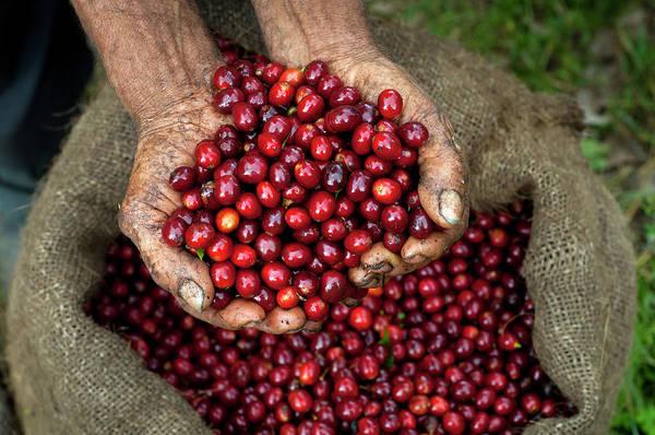 El Salvador Photograph - Coffee Cherries, El Salvador by John Coletti